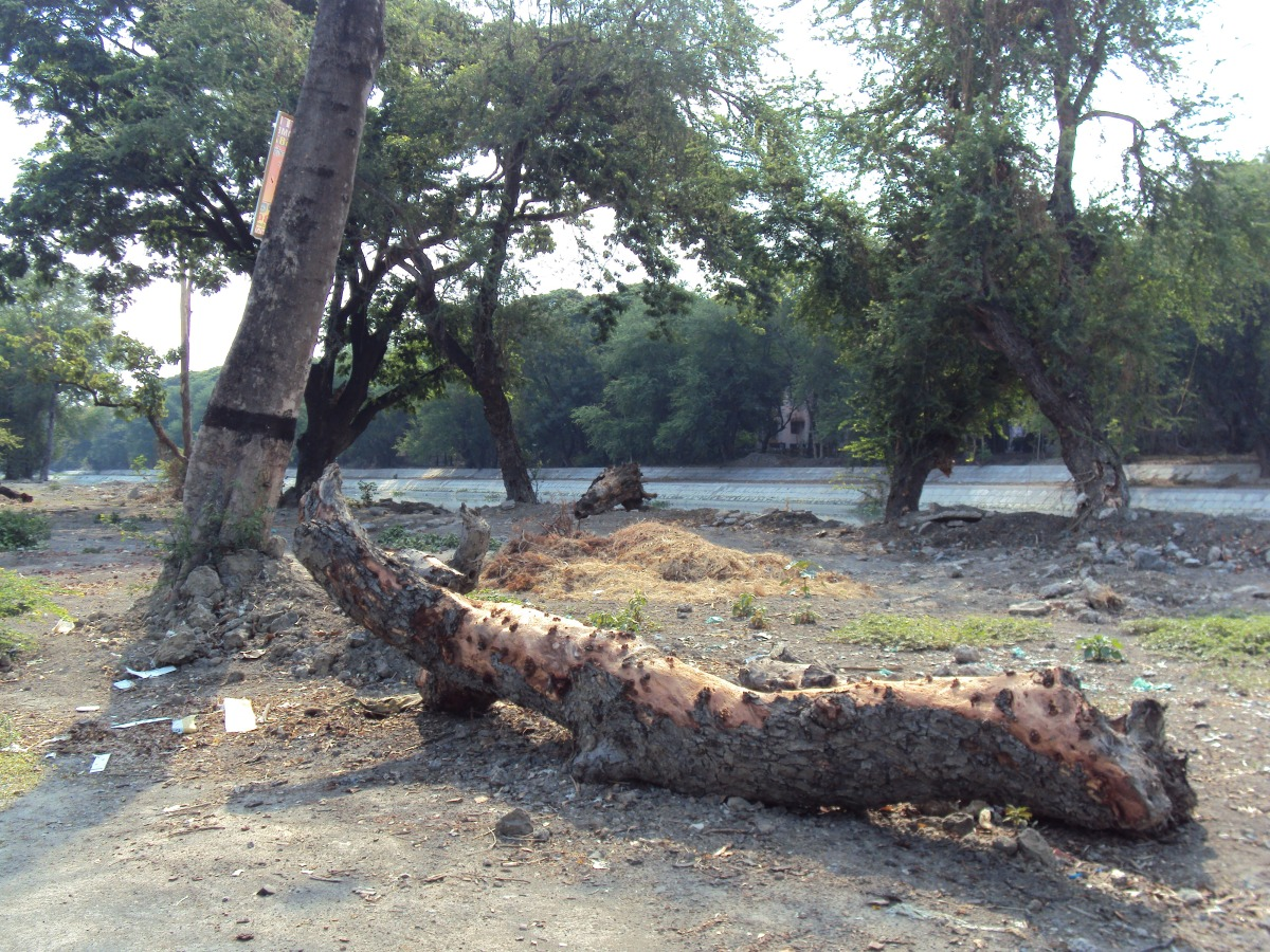 Tree trunks lying beside VIP Road , kolkata, west bengal, tree felling