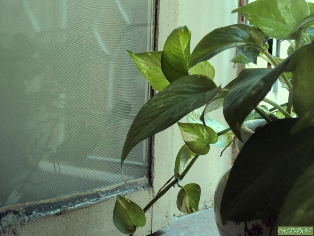 The Money Plant on My Window (1/5)