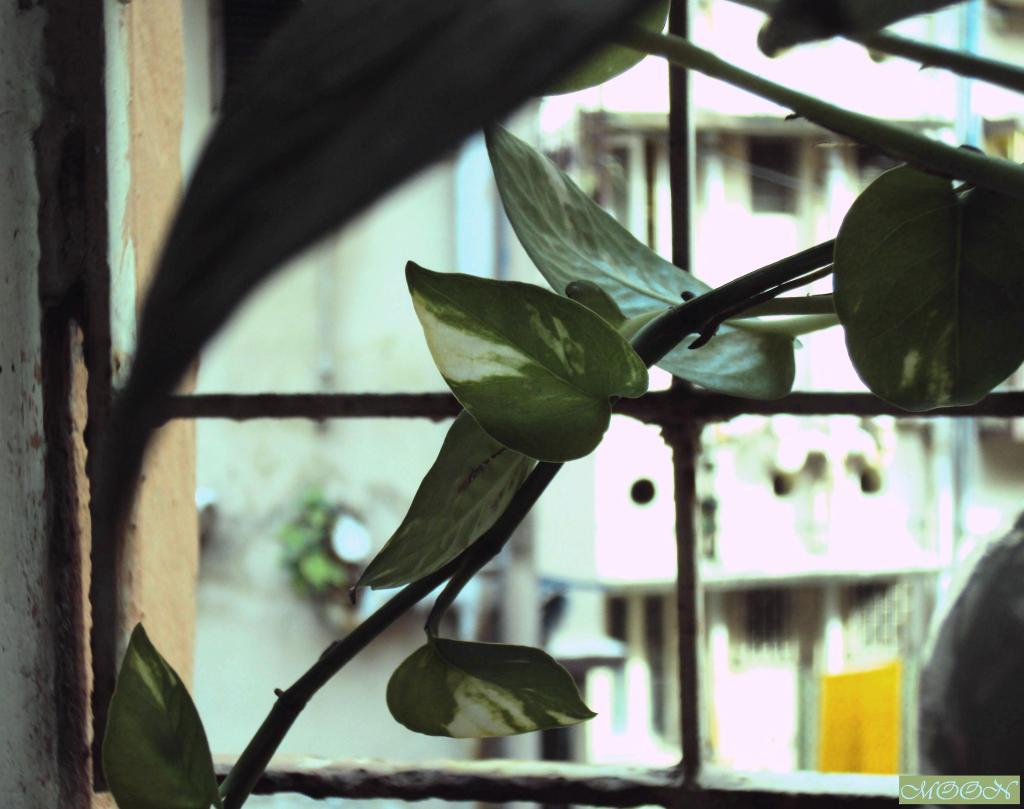 money plant on the window