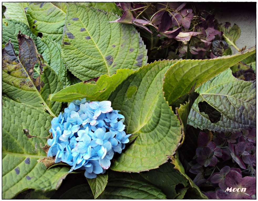 blue snowball bush, sikkim