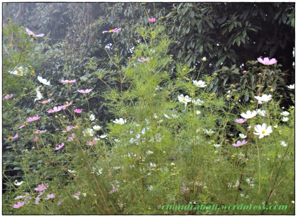 A Bunch of Flowers from the Hills of Sikkim (6/6)