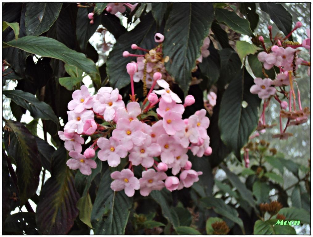 pink flower, Namchi, Sikkim