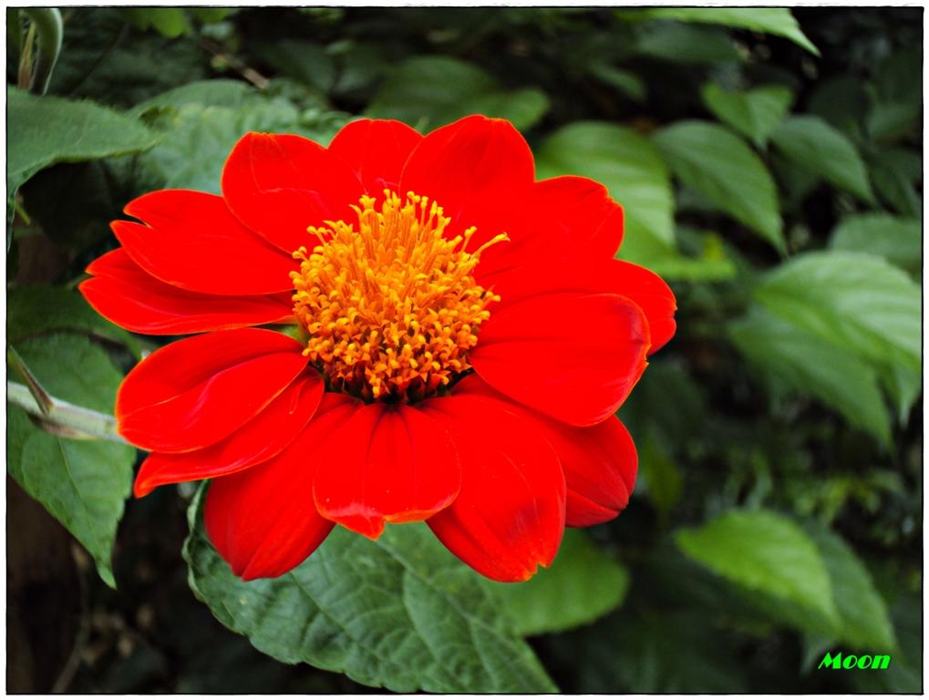 zinnia, red flower