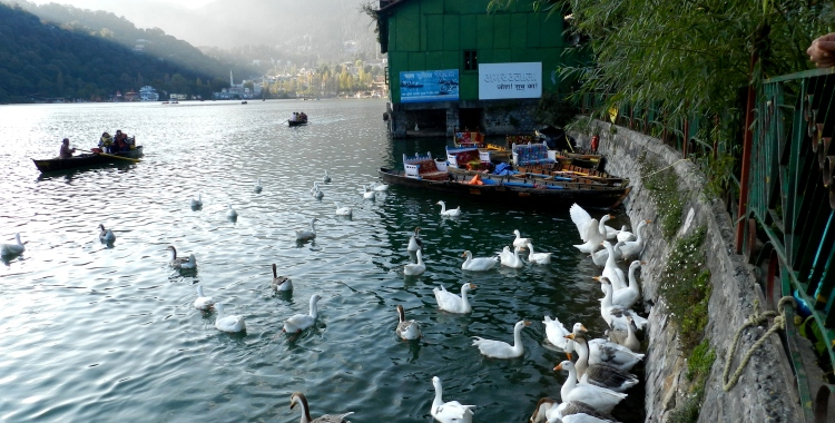 A gaggle of geese at Naini Lake, Nainital, Kumaon, Uttarakhand, India