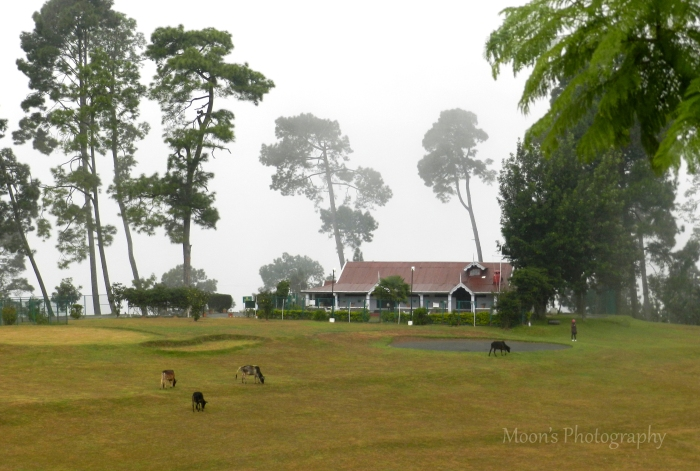 Cattle, Ranikhet, Golf Course, Kumaon, Uttarakhand