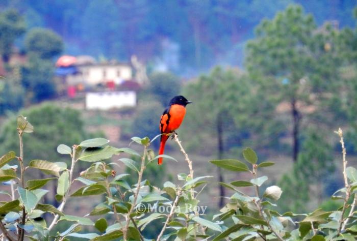 bird, twitter, Kausani, Almora, Kumaon, Uttarakhand