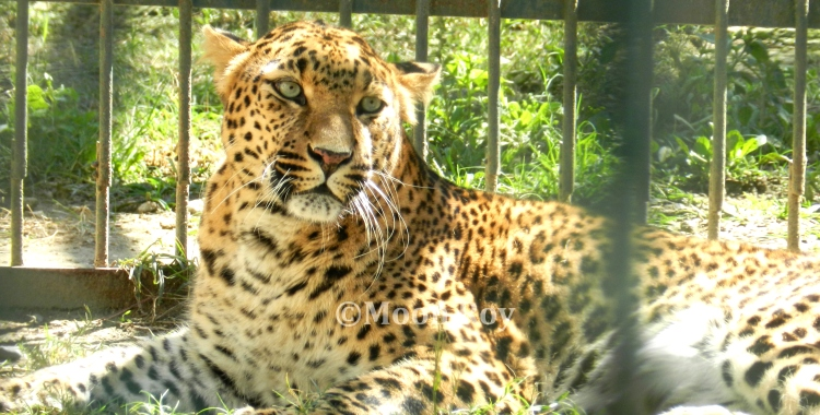 Leopard at the zoo, Almora, Nainital, Uttarakhand