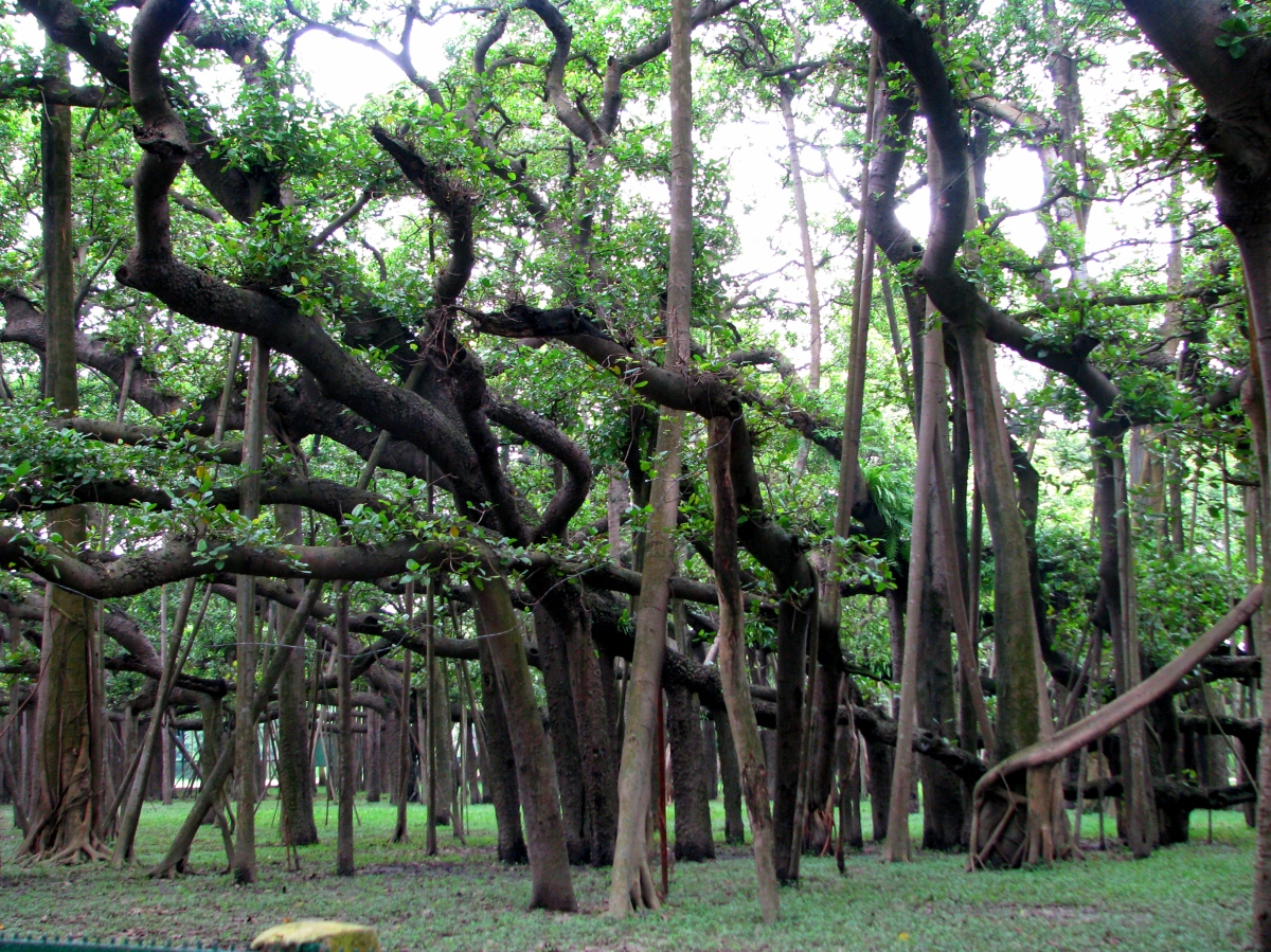 the great banyan tree, Botanical Garden, Shibpur