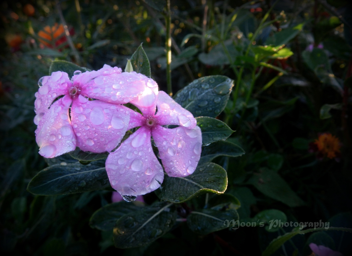 dew drop, dew, rain drop, flower, rose periwinkle