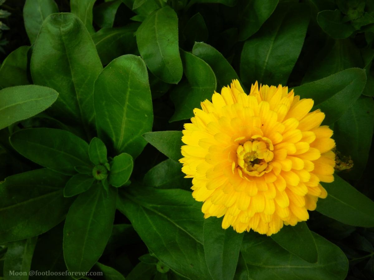 calendula, yellow, flower