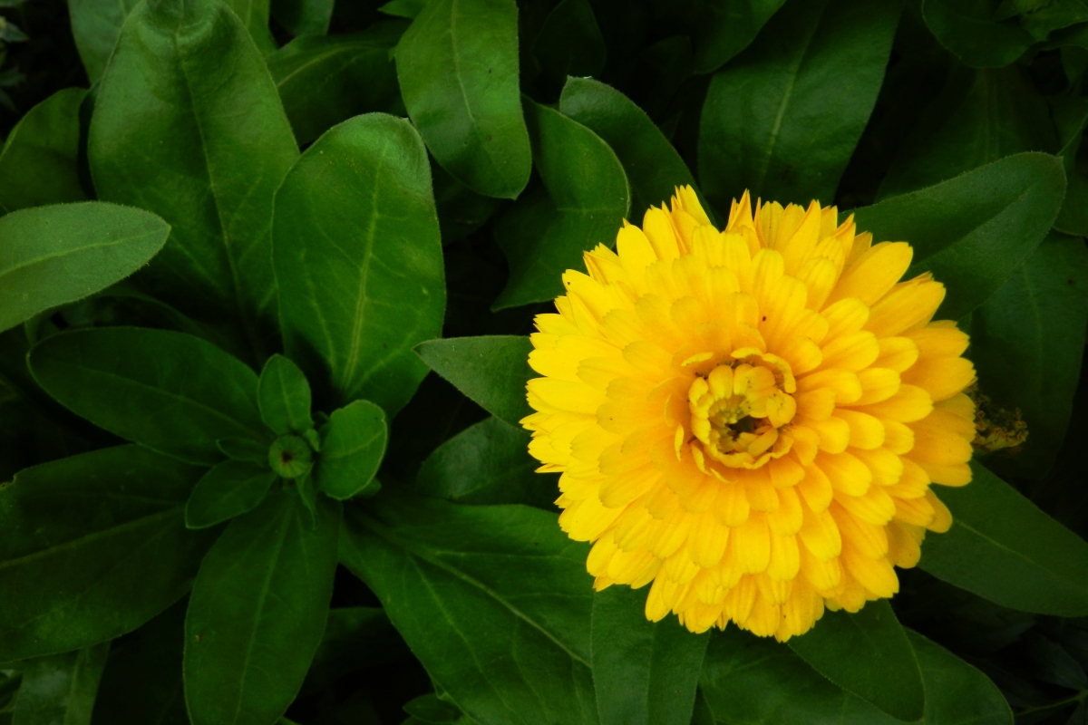 calendula, yellow, flower
