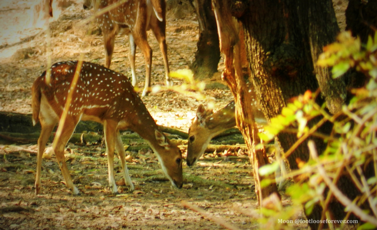 Deer, ballavpur wildlife sanctuary, shantiniketan