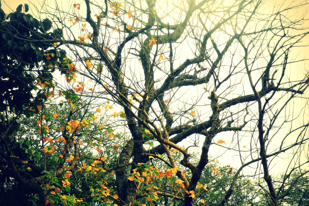 tree with bare branches in winter, kolkata