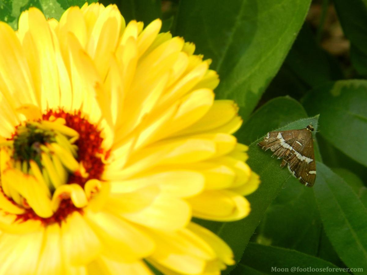 calendula, flower, moth, yellow flower