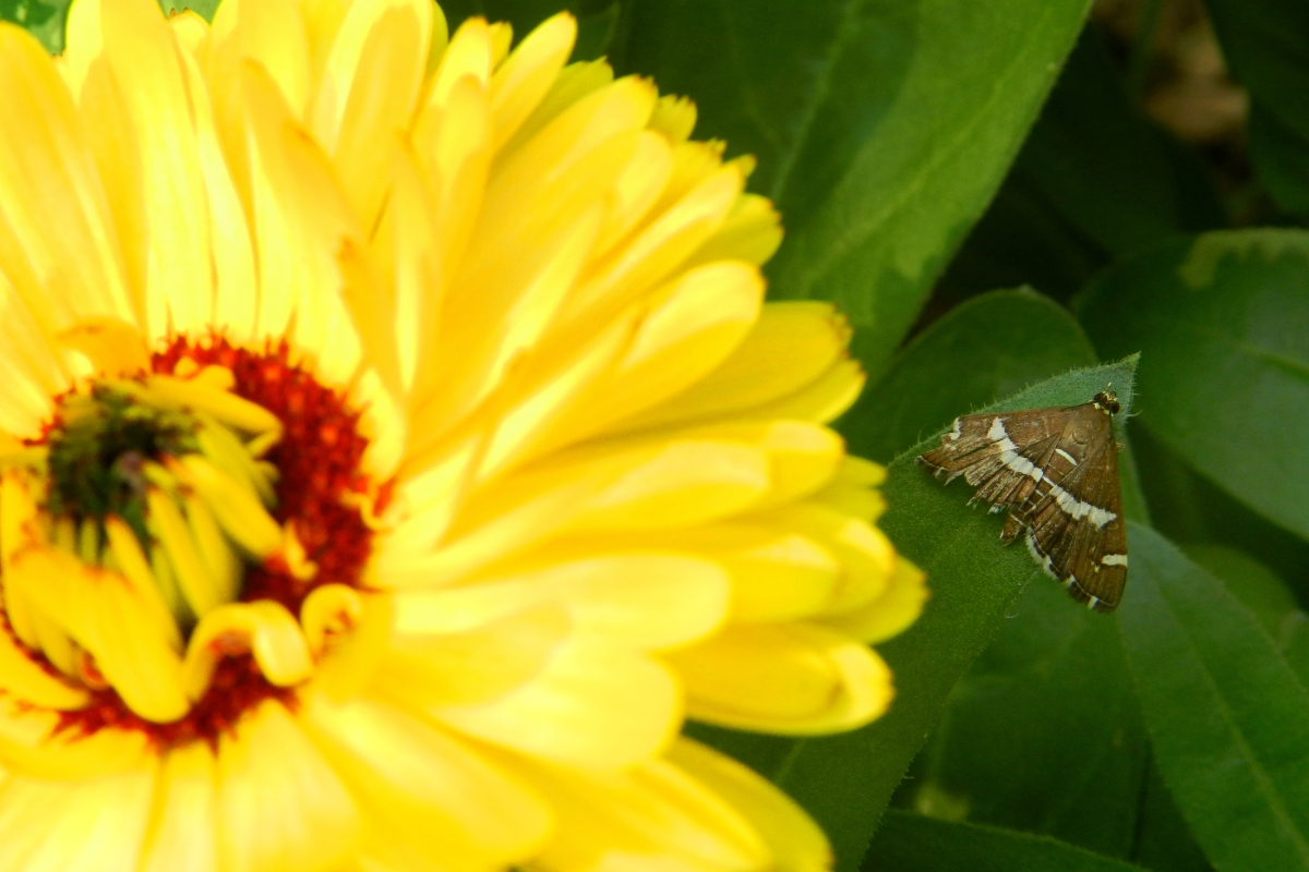 calendula, flower, moth, yellow flower