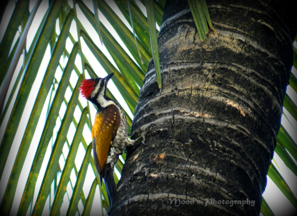 woodpecker, bird, common woodpecker