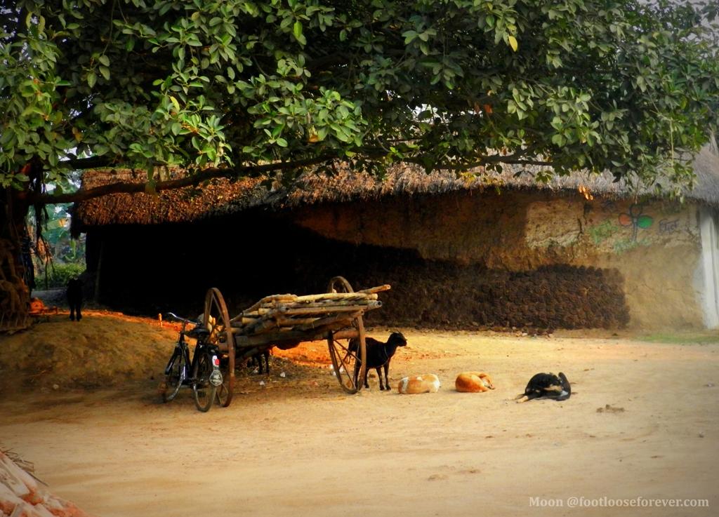 stray dogs, banyan, rural bengal, shantiniketan, bolpur