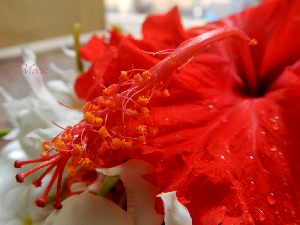hibiscus , china rose, flower, red, fresh