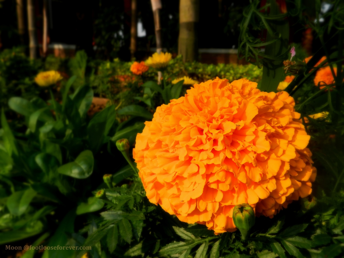 marigold, orange, flower