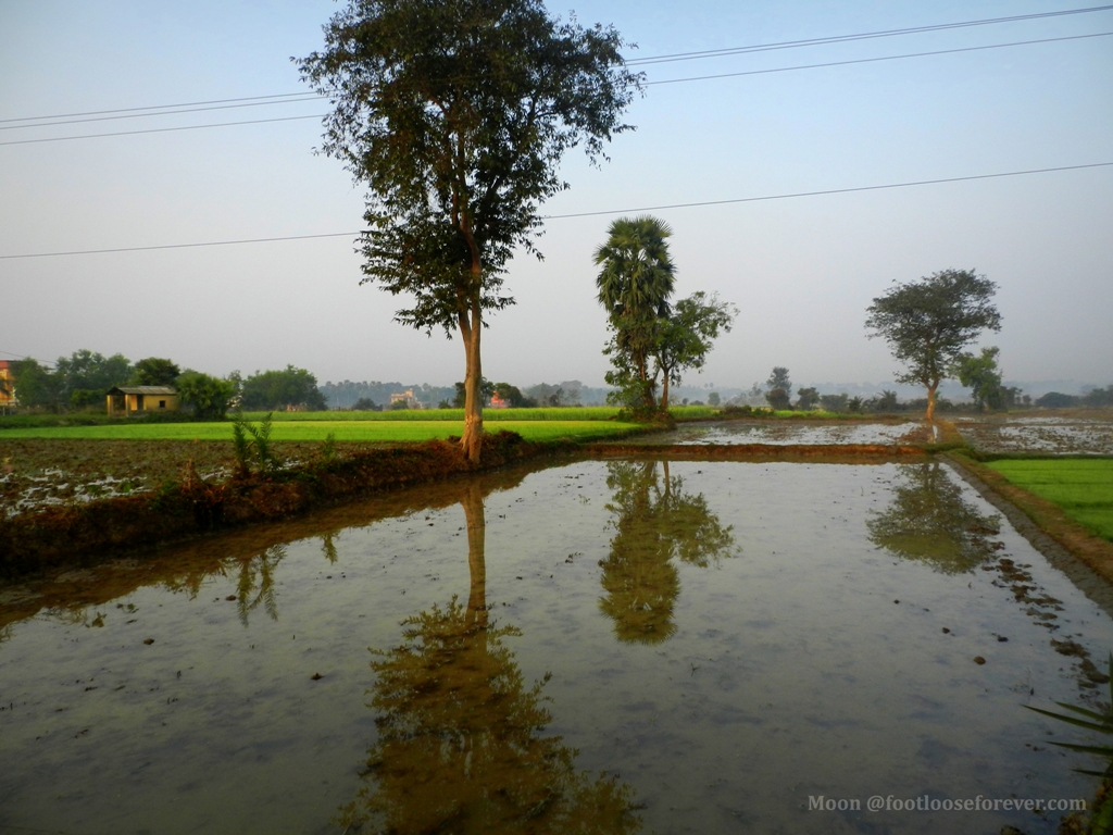 rice field, paddy field, shantiniketan, rural life, bengal