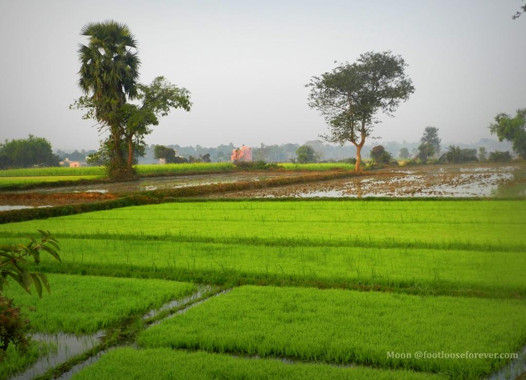 greenery, rice fields, Shantiniketan, paddy field, village,
