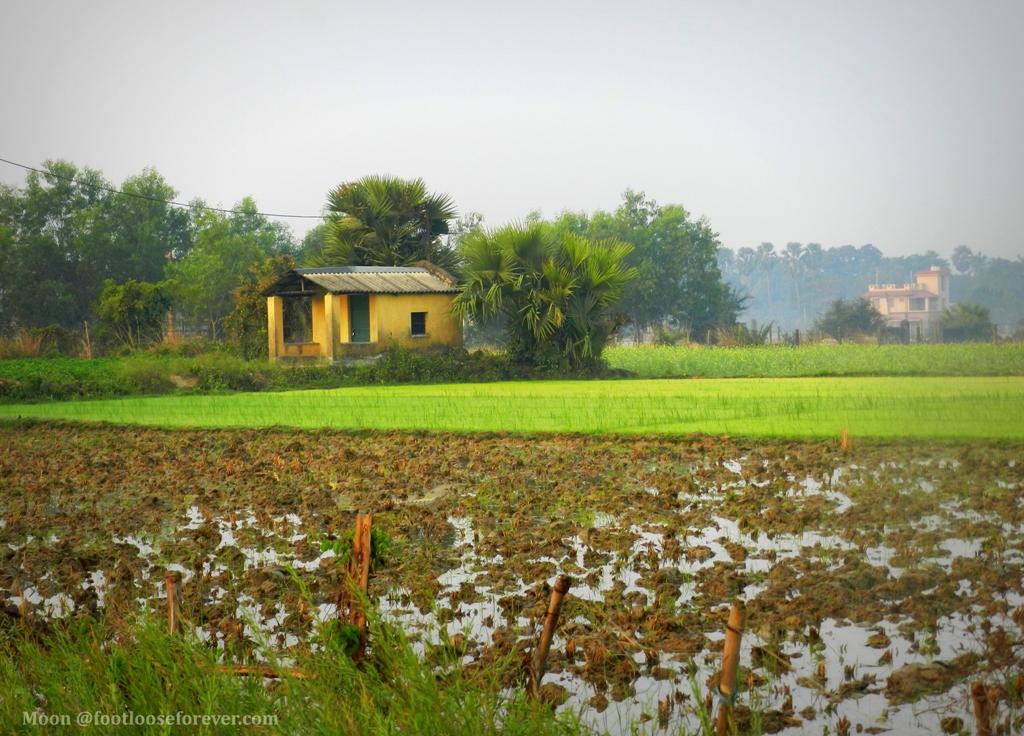 rice field, greenery, shantiniketan, bolpur