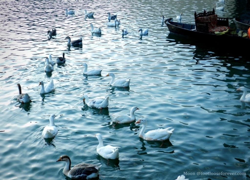geese, swans, naini lake, nainital,