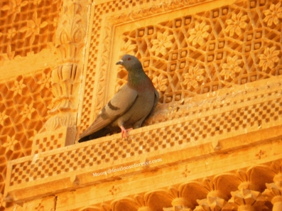 pigeon, Jaisalmer fort, jaisalmer, rajasthan