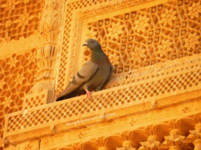pigeon, Jaisalmer fort, jaisalmer, rajasthan