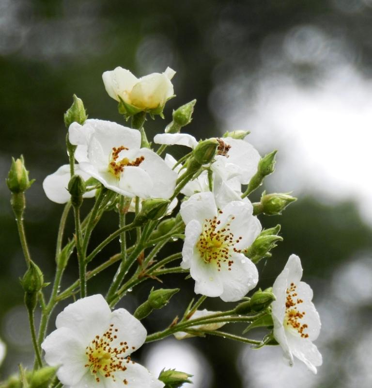 flower, peach, white, peach flower