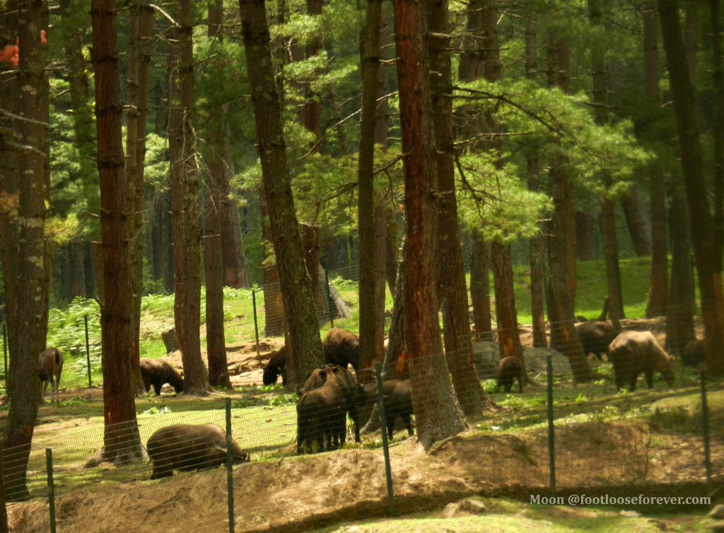 takin, takin preserve, thimphu zoo, bhutan