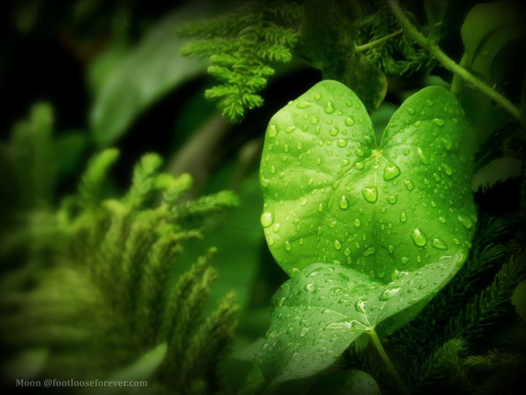 green foliage, green, leaves, rain drops