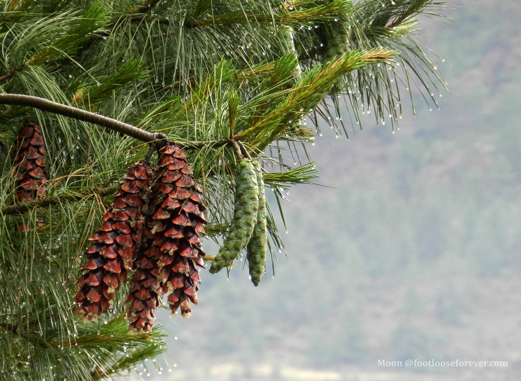 pine cones, pine, pine nuts