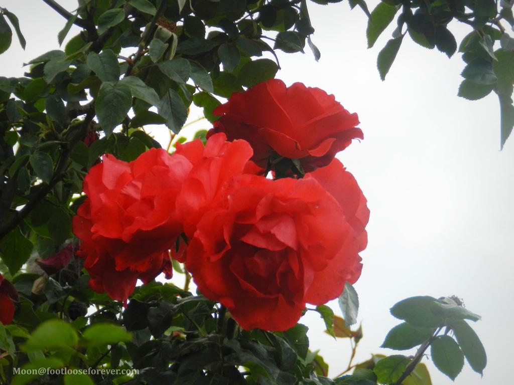 rose, red rose, paro, bhutan