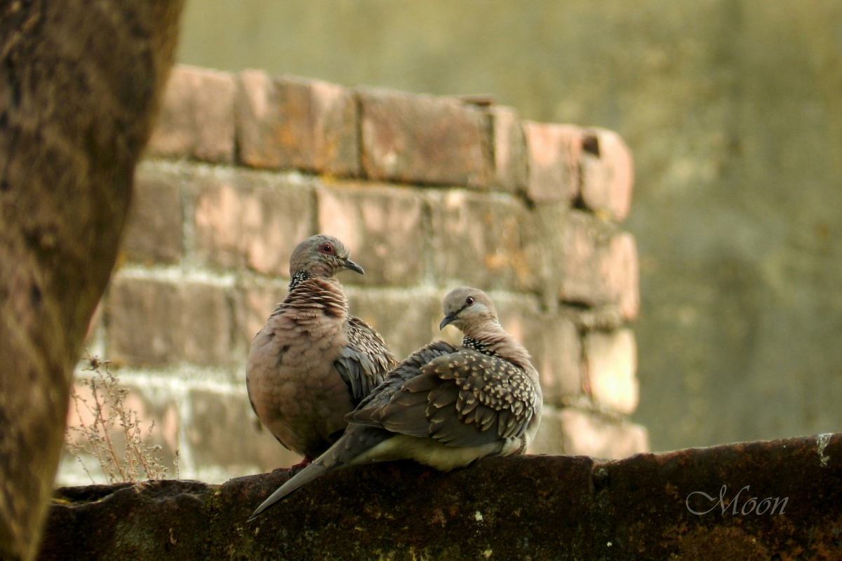 doves, pigeons, birds, partners