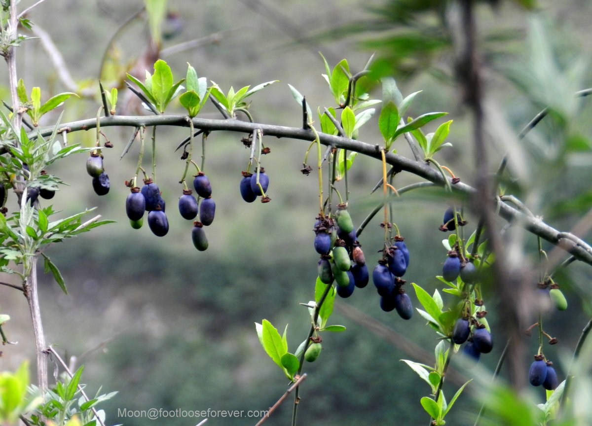 blue berry, berries, fruits, hills, sikkim