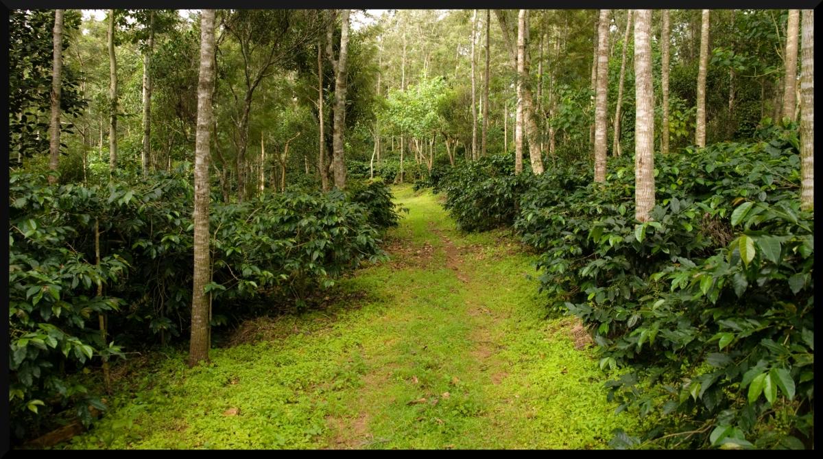 coffee estate, yercaud, tamilnadu
