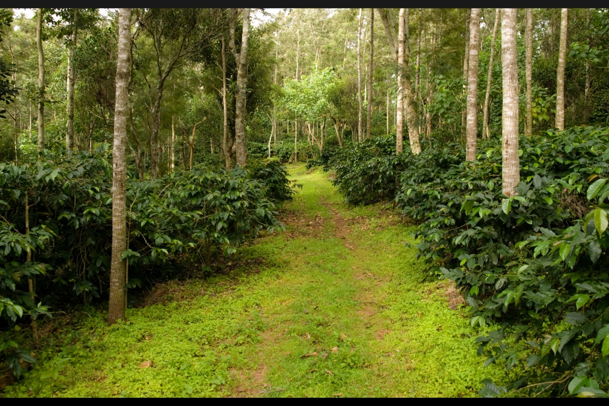 coffee estate, yercaud, tamilnadu