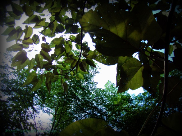 canopy of leaves, natural canopy