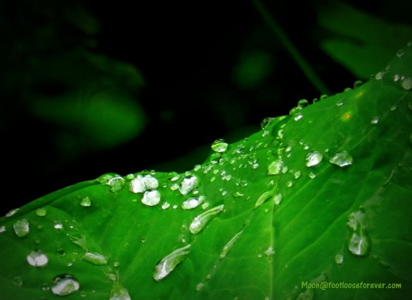 edge, colocasia leaf, raindrops