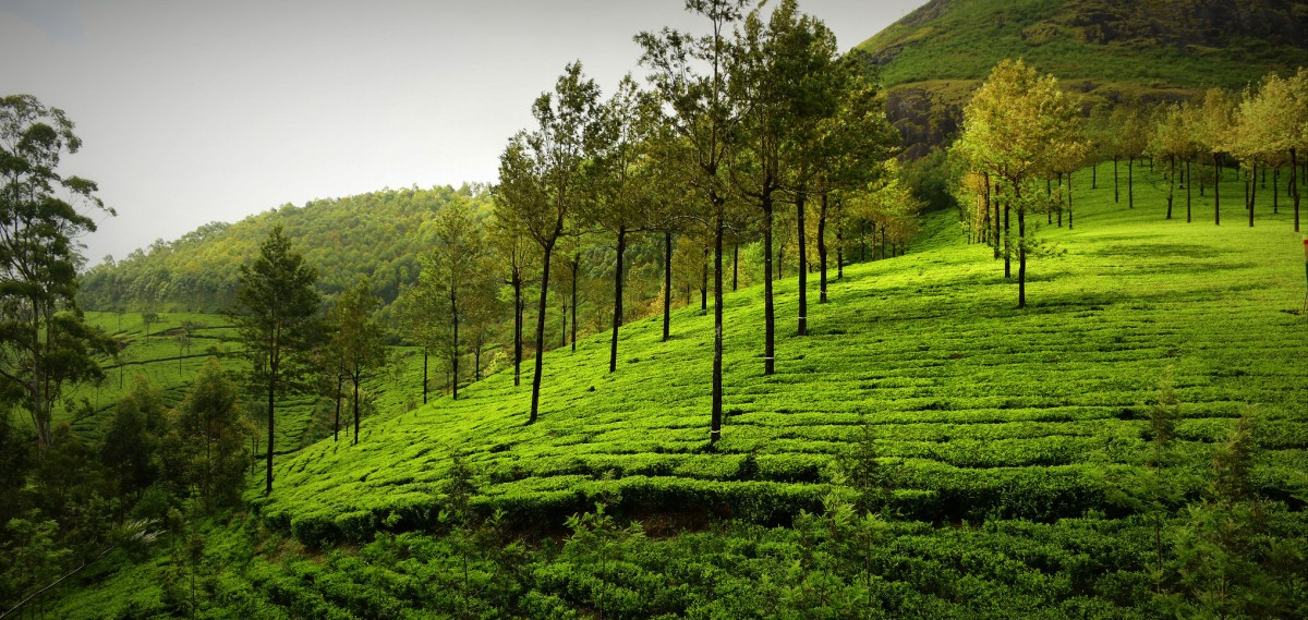 tea garden, kerala, greenery
