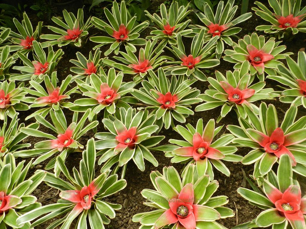 bromeliads, flowers, flower exhibition, gangtok, sikkim