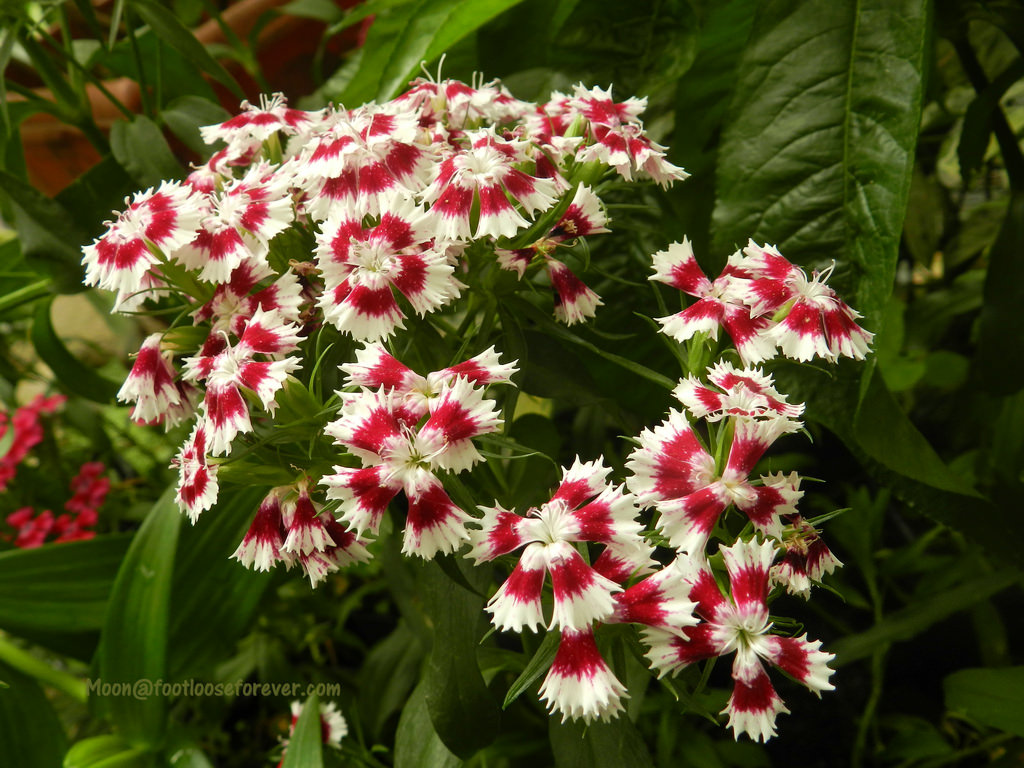 dianthus, flowers, flower exhibition, gangtok, sikkim