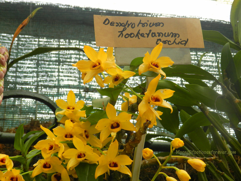 yellow orchids, flower exhibition, gangtok, sikkim