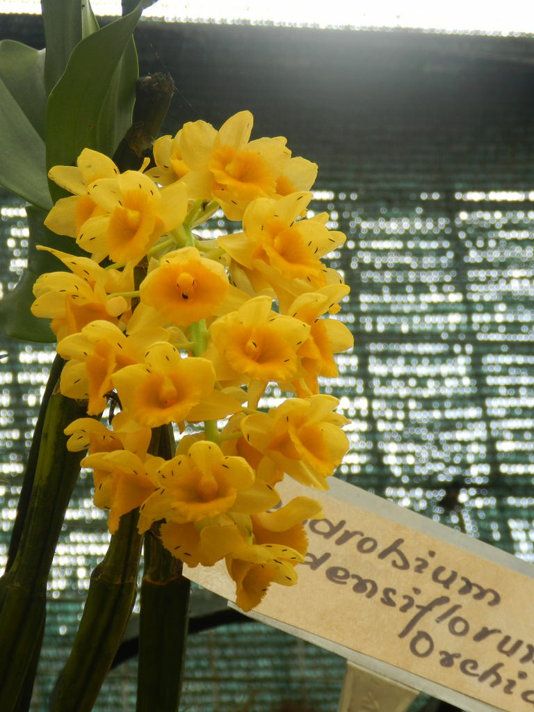 orchids, yellow flower, flower exhibition, gangtok, gangtok sightseeeing