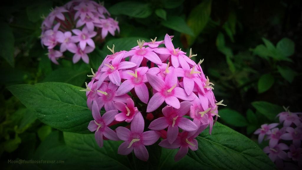 pink flower, jungle geraniums