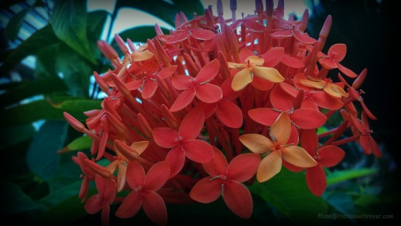 jungle geranium, flower, red flowers