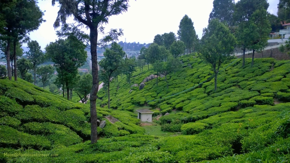 Coonoor, tea garden, nilgiri, hills