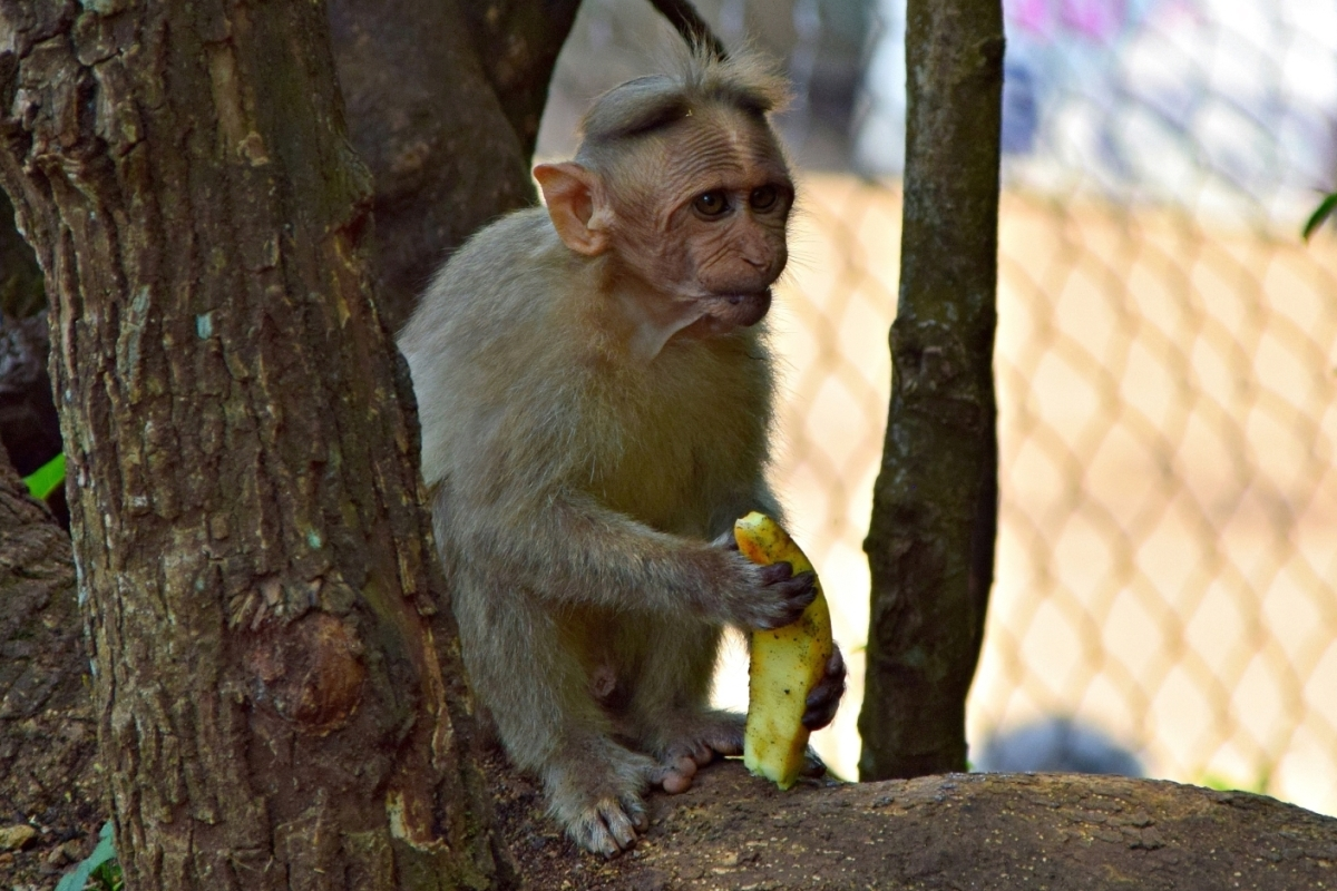 monkey eating banana, coonoor
